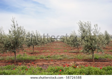 Olive grove with drip irrigation system, Alentejo, Portugal