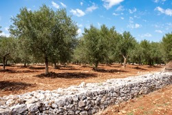 olive groves cultivated in Apulia, organic and natural farming in italy