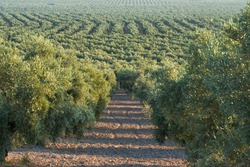 olive groves destined for the production of olive oil in Puente Genil, Cordoba. Spain