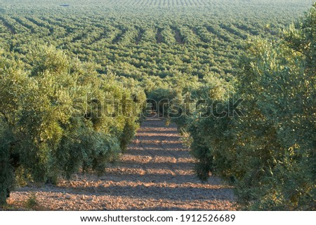 olive groves destined for the production of olive oil in Puente Genil, Cordoba. Spain Foto stock ©