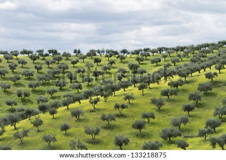 olive groves in Portugal at the beginning of the summer