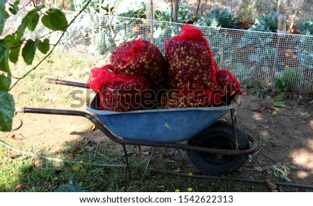 Olive harvest season. Fresh harvested olives in a blue wheel barrow at garden.