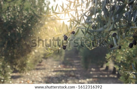 Olive oil trees full of olives. Landscape Harvest ready to made extra virgin olive oil.  Сток-фото ©