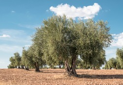 Olive plantation with many trees and blue sky.