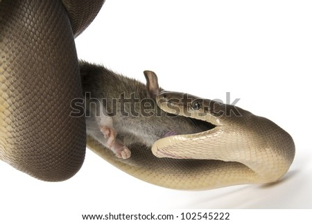 Olive python, Liasis olivaceus, eating a rat on a white background