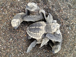 Olive ridley sea turtle hatchlings