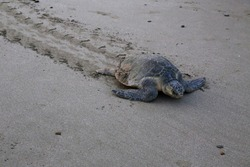 Olive ridley sea turtle on beach in Nicaragua