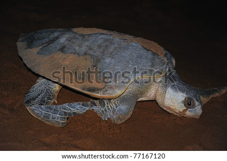 Olive ridley turtle returning to the ocean at night. The nesting process is complete. She appears to be crying with liquid flowing from her eyes. She is excreting the excess salt and flushing sand.