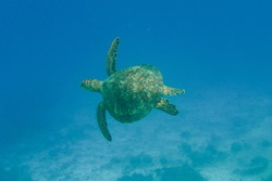 Olive ridley Turtle,sea turtles swimming in the blue ocean