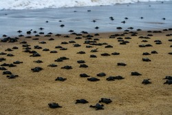 Olive Ridley Turtles Mass Hatching