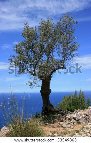 olive tree 2010 - stock photo