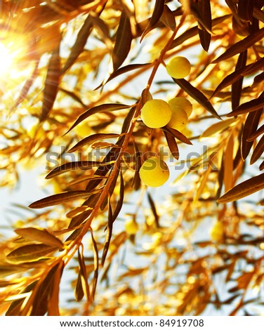Olive tree branch at warm autumn sunset, natural background of a ripe green olives, seasonal fruits and harvest concept