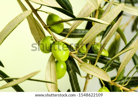 Olive tree branch with leaves and some ripe green olives, on light green gradient background, close-up #1548622109