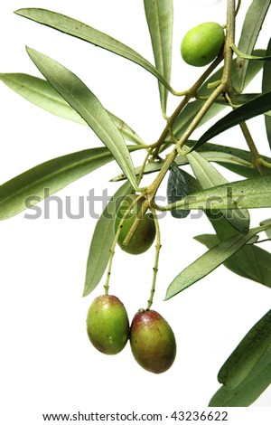 Olive tree branches  on the white background