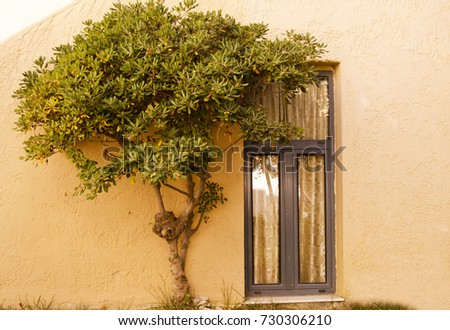 olive tree by the window in...