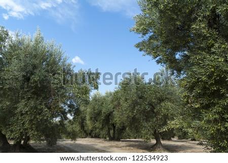 Olive tree (Empeltre variety) with olives. Zaragoza. Spain.