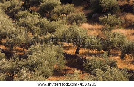 Olive tree field from the growing region of Kalamata, Greece