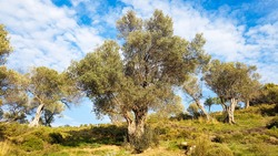 Olive tree in a row. Plantation and cloudy sky