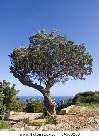 Olive tree in a typical Mediterranean landscape with the sea beyond