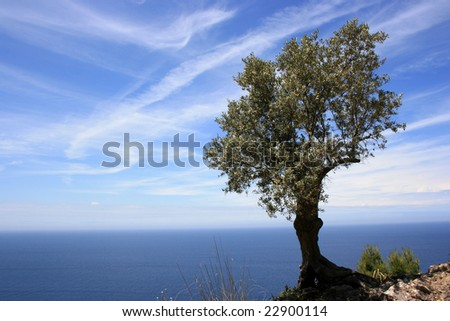 olive tree in front of blue sky and blue see on mallorca.