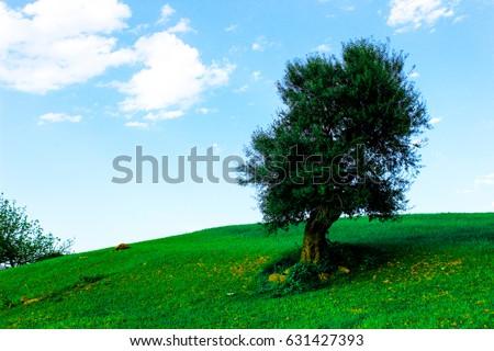 Olive tree in green field with blue sky. - Shutterstock ID 631427393