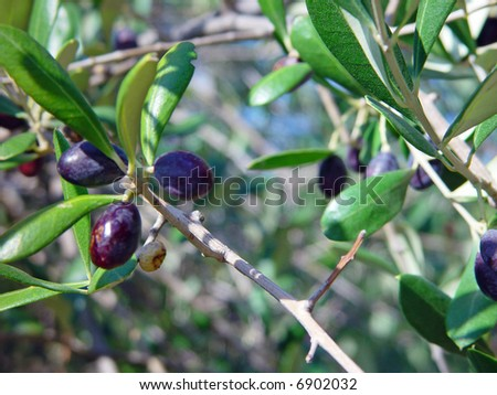 Olive Tree in Portofino, Italy, with Ripe Fruit