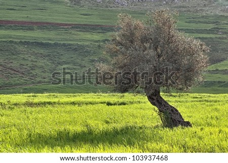 Olive tree in sunlit field of green wheat at sunset (Lebanon)