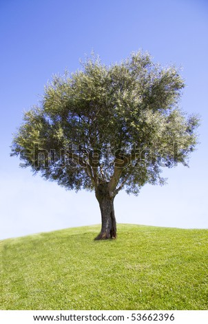 Olive tree in the sun with blue skies