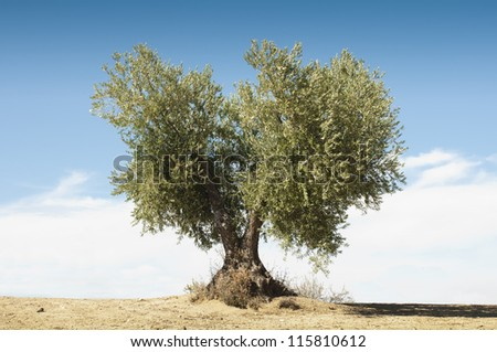 Olive tree on blue sky .