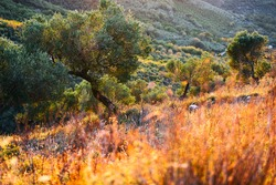 olive tree plantation at sunset with brightly colored grass