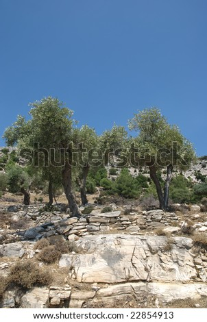 Olive tree planting in mountain area of Thassos island Greece