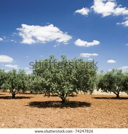 Olive tree, Provence