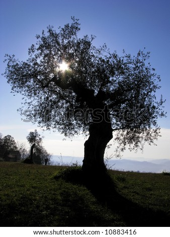 olive tree silhouette against blue sky - stock photo