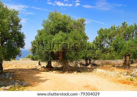 olive tree trunk