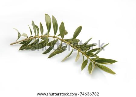 olive tree twig leaves