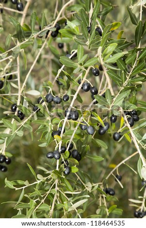Olive tree with many colorful ripe fruits, close up - focus on center of photo
