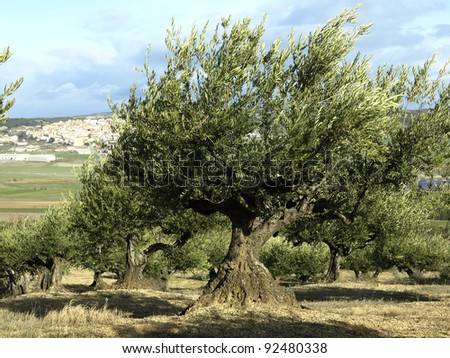 olive trees and harvest
