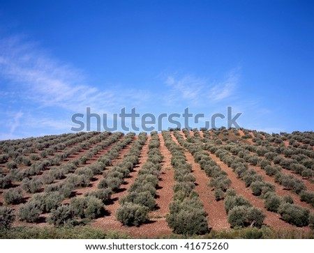 Olive trees at a small hill in Spain