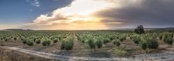 Olive trees at sunset. Sun rays