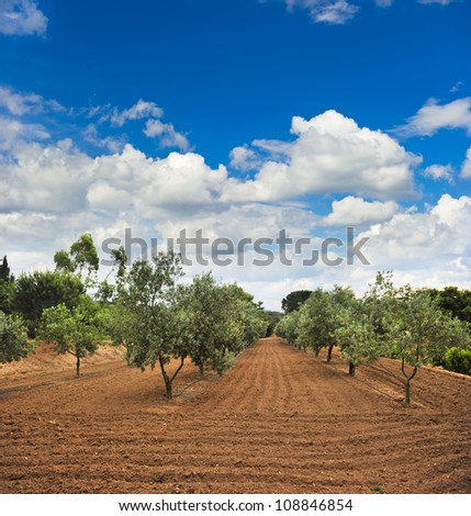 Olive trees garden in Provence, France