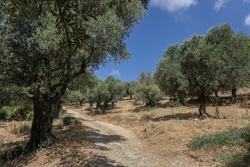 Olive trees grove at Rosh Pina Stream reserve, on the hiking trail from Rosh Pina to Safed, Mount Canaan, Upper Galilee, Northern Israel, Israel.
