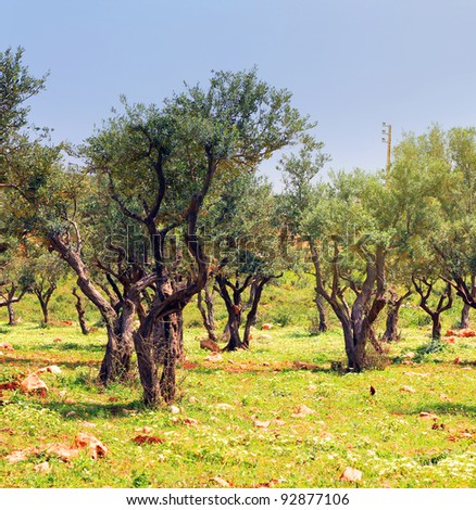 Olive trees in a garden in the spring cloudy in the afternoon, Lebanon