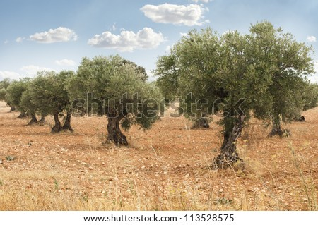 Olive trees in a row. Plantation and cloudy sky