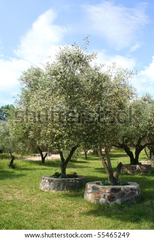 Olive trees in Olive Grove in full sun