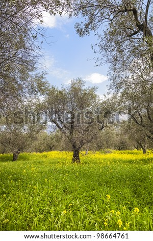 olive trees in the spring