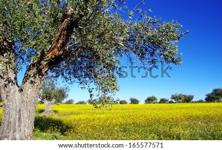 olive trees in yellow field