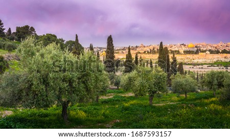 Olive trees on the Mount of Olives with view of Old City Jerusalem's religious landmarks: Russian church of Mary Magdalene, Mount Zion, Dome of the Rock and the Golden Gate, with beautiful purple sky Foto stock ©