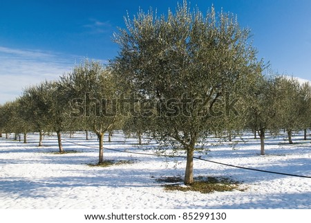 olive trees with irrigation in winter