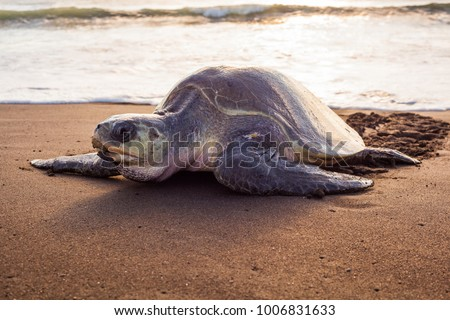 Olive turtle (Pacific coast of Guanacaste) on the Ostional beach during the ocean sunset, #1006831633