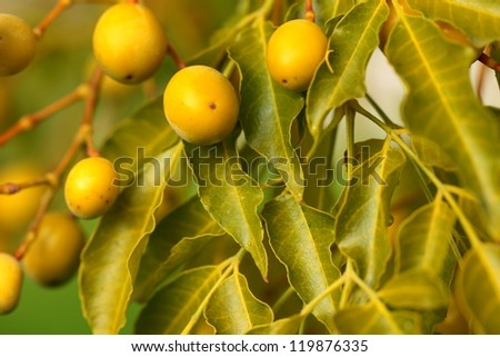 Olives hanging in branch